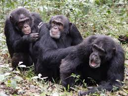 3 gorilla's sitting in the bush