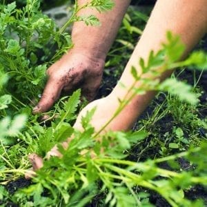 healthy soil, hands in green leaves