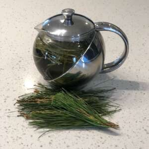 pine needle tea brewing in tea pot